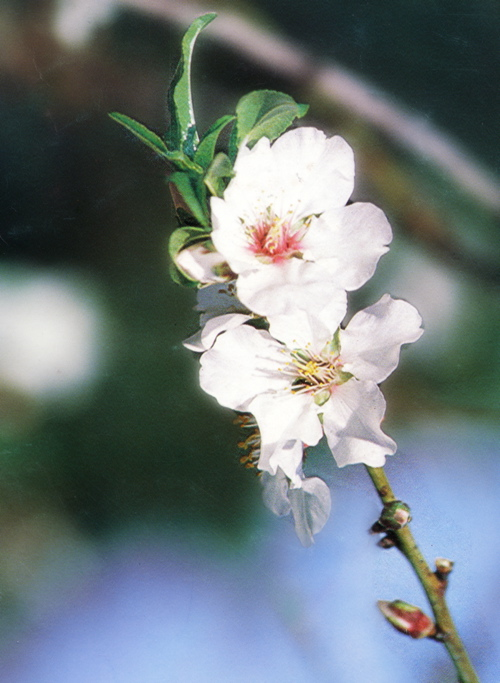 01 - Fiore di Mandorlo