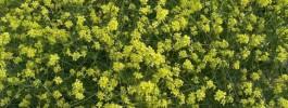 Senape Canuta - amareddi siciliani